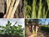 Spargel; Kartoffeln und Knoblauch aus eigenem Anbau vom Spargelhof Schäfer