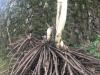 eine kräftige Spargelpflanze ausgegraben auf dem Spargelhof Schäfer