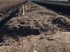Schäfer Spargel guckt aus dem Damm